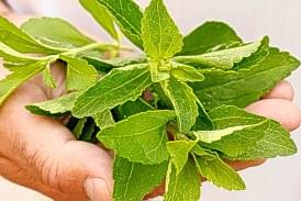چیز هایی که شاید درباره گیاه استویا نمی دانید