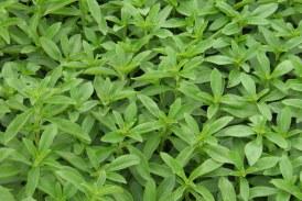 همه چیز درباره گیاه استویا – استویا چیست