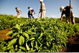 اهمیت کشاورزی گیاه استویا یا برگ شکر + گیاه شناسی