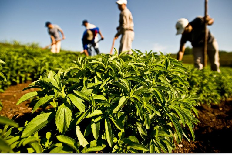اهمیت کشاورزی گیاه استویا یا برگ شکر